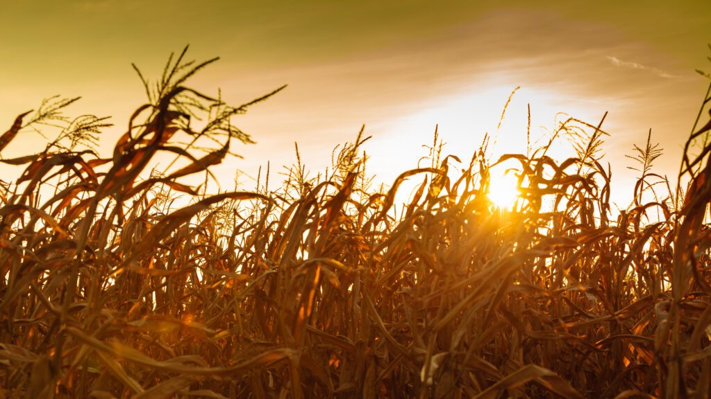 Dry Corn Field at the Yellow Sunset Landscape